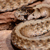Dekay's Brown Snake