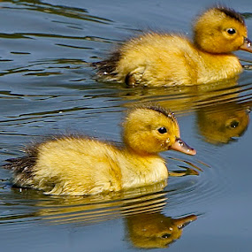 Two of Fourteen by Barbara Brock - Animals Birds ( mirror, ducklings, furry, duck, reflections, lake, yellow, swimming,  )
