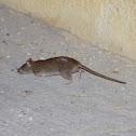 House mouse (Σπιτικός ποντικός)