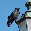 Carrion Crow / Rabenkrähe