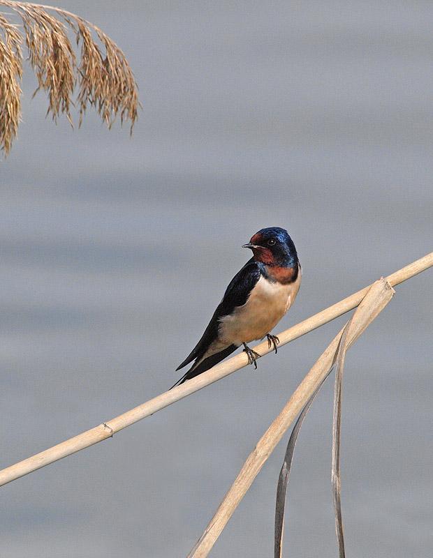 Golondrina (Barn Swallow)