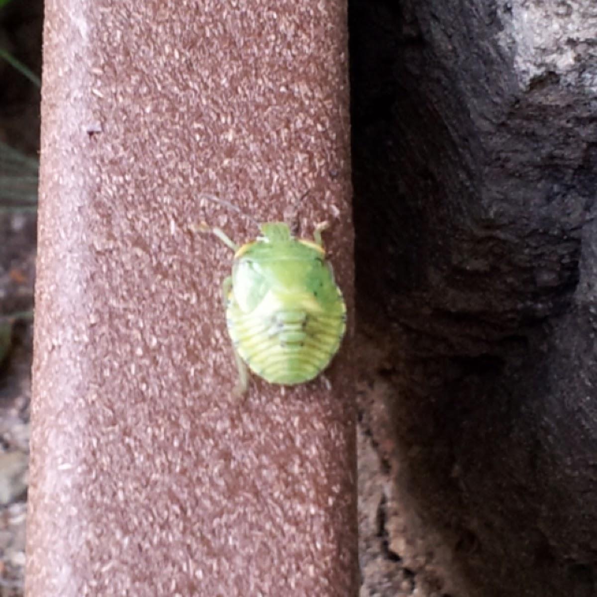 Stink bug nymph green