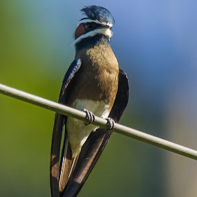 Whiskered Treeswift (Hemiprocne comata) by Steve Albano - Animals Birds ( whiskered treeswift, treeswift )
