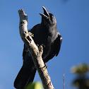 Gagak hutan / Slender-billed Crow