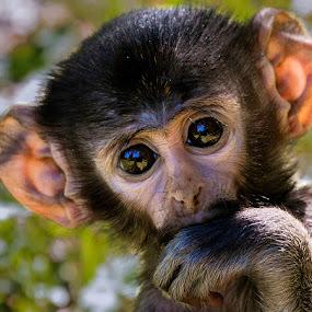 by Renos Hadjikyriacou - Animals Other Mammals ( animals, monkeys,  )
