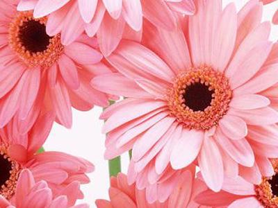 すべての花の画像 Iphone ピンク の ガーベラ 待ち受け
