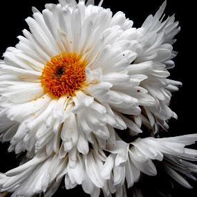white Gul by Vaibhav Nahar - Flowers Flower Gardens