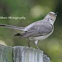 NORTHERN MOCKNGBIRD