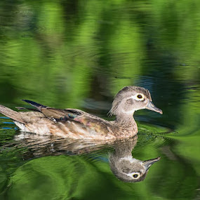 Juvenile Male Wood Duck amid Reflections by Gerda Grice - Animals Birds (  )
