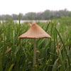 Cone Head Mushroom