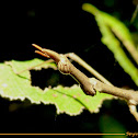 Horse head grasshopper