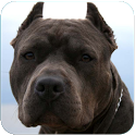 Blue Nose Pitbull Live Wallpap icon
