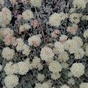 Dwarf Buckwheat Plant