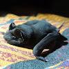 Pallas's Mastiff Bat
