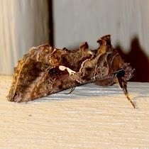 Maryland/DC Outdoor Light Moth Survey