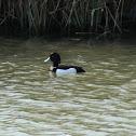 Tufted Duck (Reiherente)