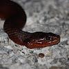 Mangrove Salt Marsh Snake