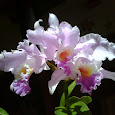 Orchids of the Americas