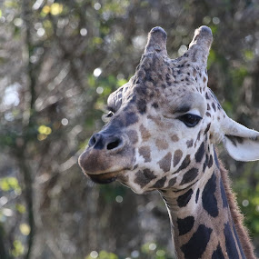Up High by Jared Lantzman - Animals Other Mammals ( spots, ear, giraffe, mouth, trees, head, eye,  )