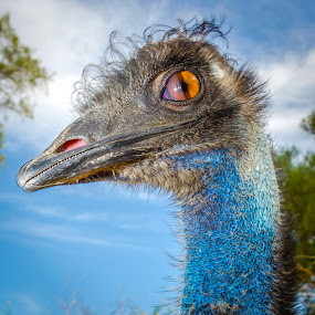 Bad hair day by Assi Dvilanski - Animals Birds ( blue, emu, birds, portrait )