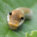 Spicebush swallowtail caterpillar (2nd instar)