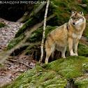 Lupo europeo (european wolf)