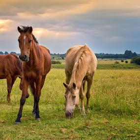 Horse Heaven by Hans-Erik Arp - Animals Horses ( pasture, equine, horses, thaba manzi ranch, sunset, south africa, horse, stormsignal, magaliesburg, equestrian )