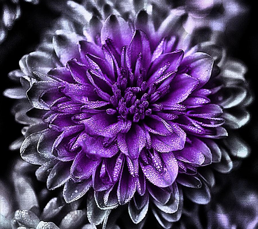 Fade by Rhonda Musgrove - Flowers Single Flower ( purple, petals, chrysanthemum, mum, flower )