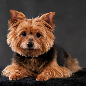 Yorkshire terrier by Renata Horáková - Animals - Dogs Portraits ( yorkshire terrier,  )