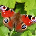 Peacock Eye Butterfly (Danish translation)