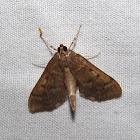 Serpentine Webworm Moth
