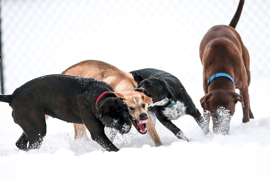The Fight Over A Twig by Peter M  - Animals - Dogs Playing ( dogs, pit bull, chicago, gsd, rottweiler )