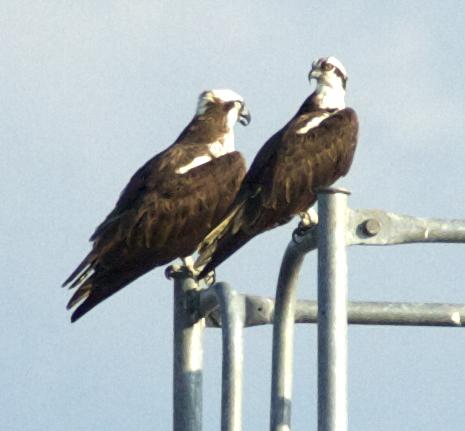 Pandion haliaetus - Osprey pair