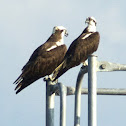 Pandion haliaetus - Osprey pair