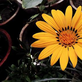 by Lalaji Anwar - Flowers Flowers in the Wild ( orange, nature, beauty, glowing, flower )