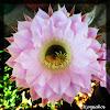 Hedgehog cactus, Easter lily cactus