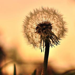 Dandelion by Dragutin Vrbanec - Nature Up Close Other plants