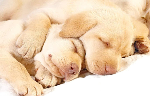Sleeping Puppy Wallpapers HD