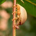 Eucalyptus leaf-beetle laying eggs