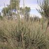 Ephedra fragilis (Arnacho, cañaillo)