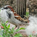House Sparrow (using dog hair for nest)