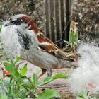 House Sparrow (using dog hair for nest)