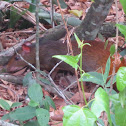 Red rumped agouti