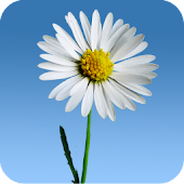 Lovely Daisies Live Wallpaper