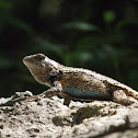 Texas Spiny Lizard (Male)