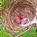 Yellow Vented Bulbul ( hatchling )