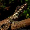 Pygmy lizard