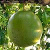 common calabash tree