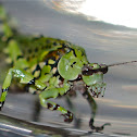 Lichen Mimic Katydid