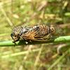 Cicada / Cvrčak